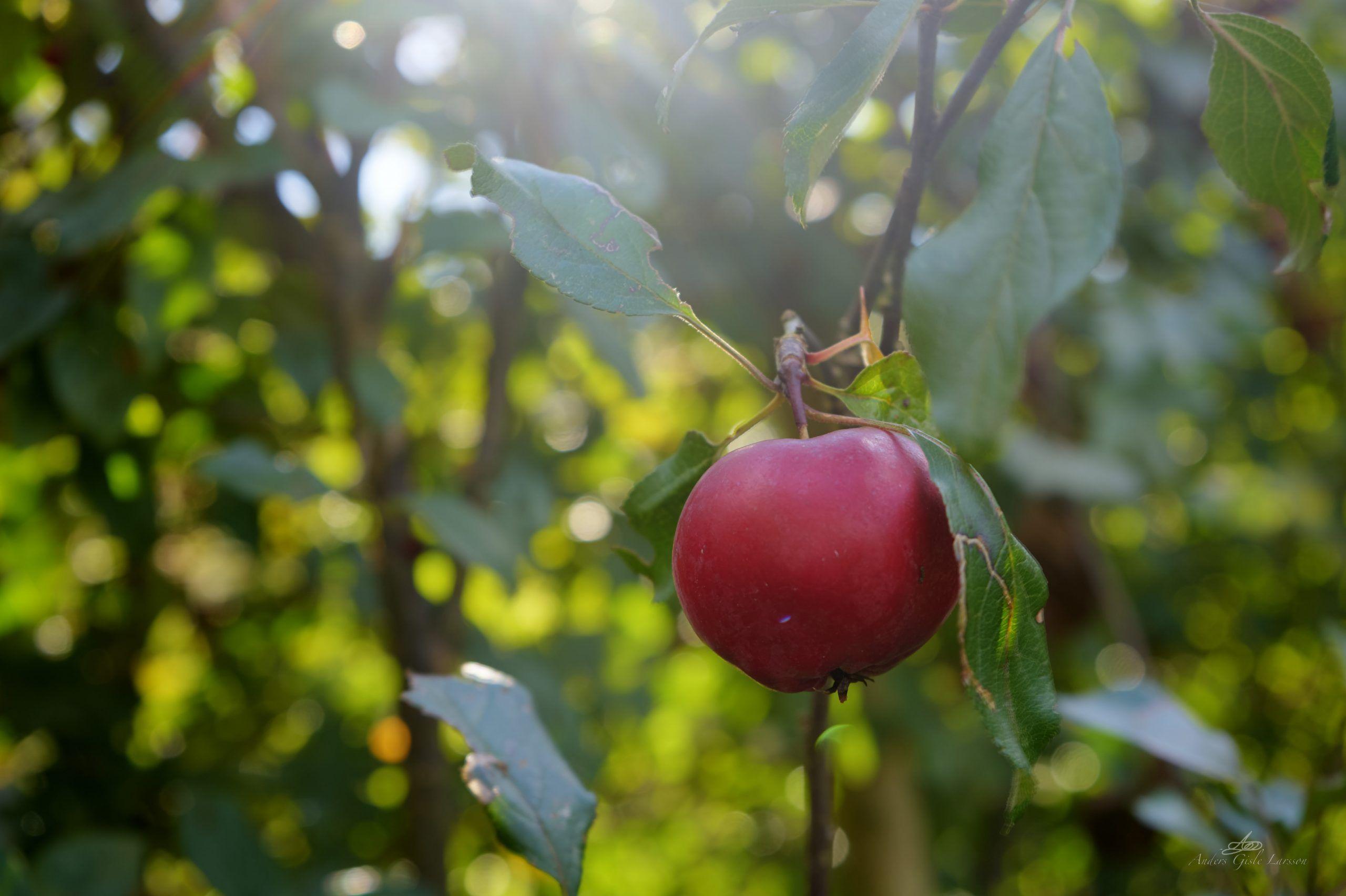 43/365, Paradis Æbler i haven, Randers