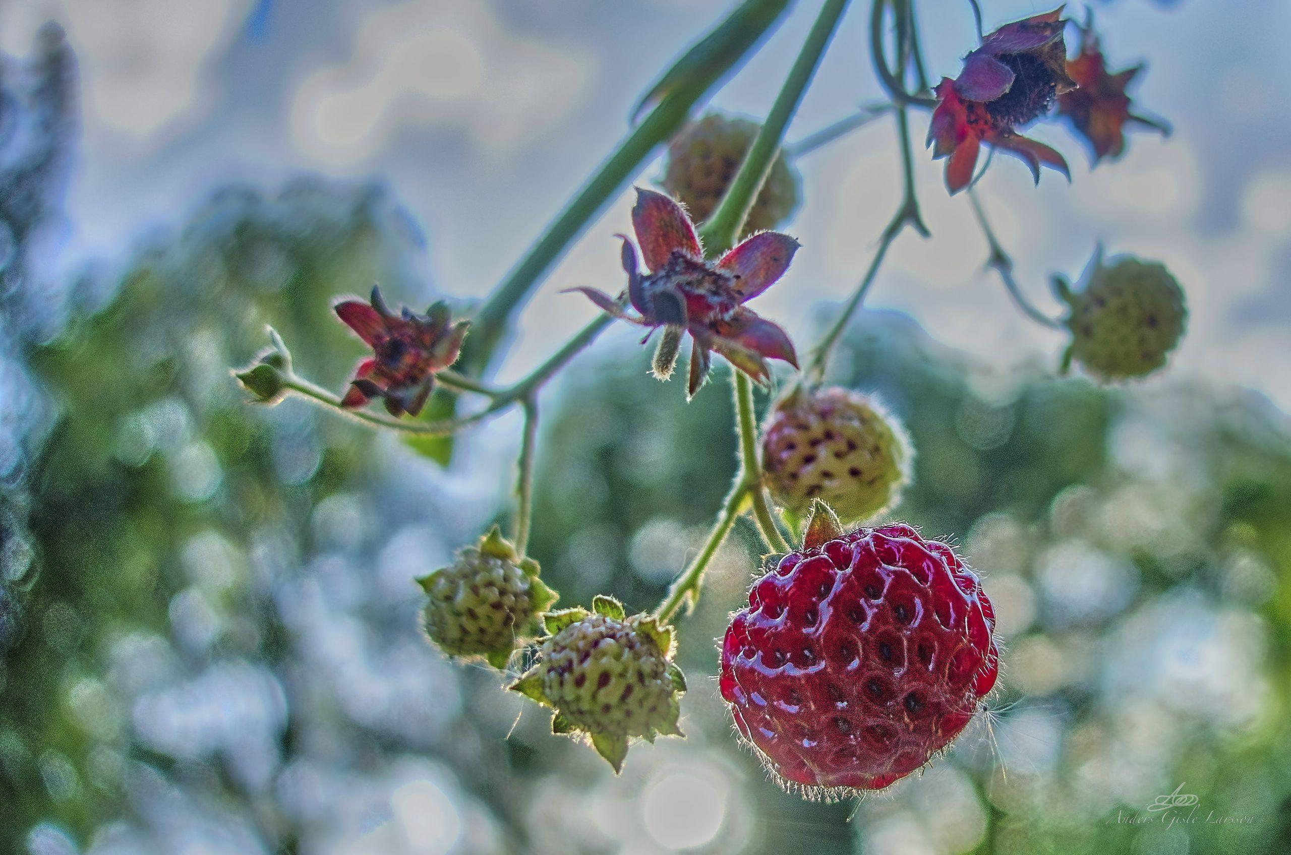 323/365, Hindbær Jordbær, Assentoft, Randers