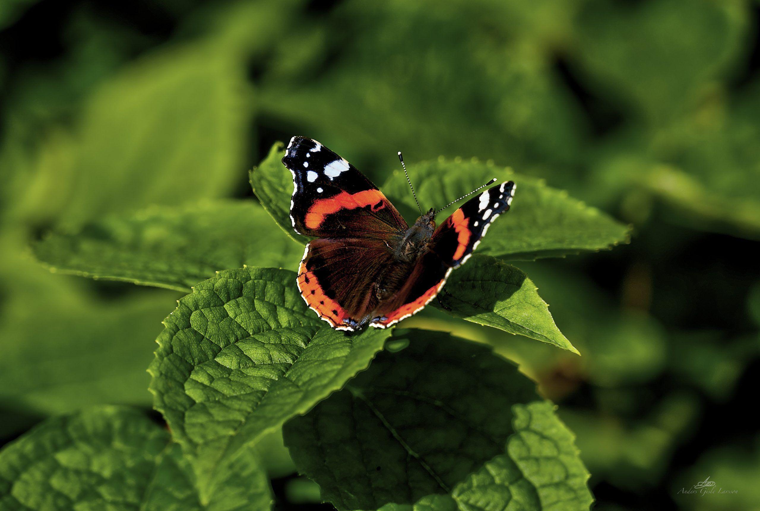 363/365, Admiral sommerfugl, Assentoft, Randers