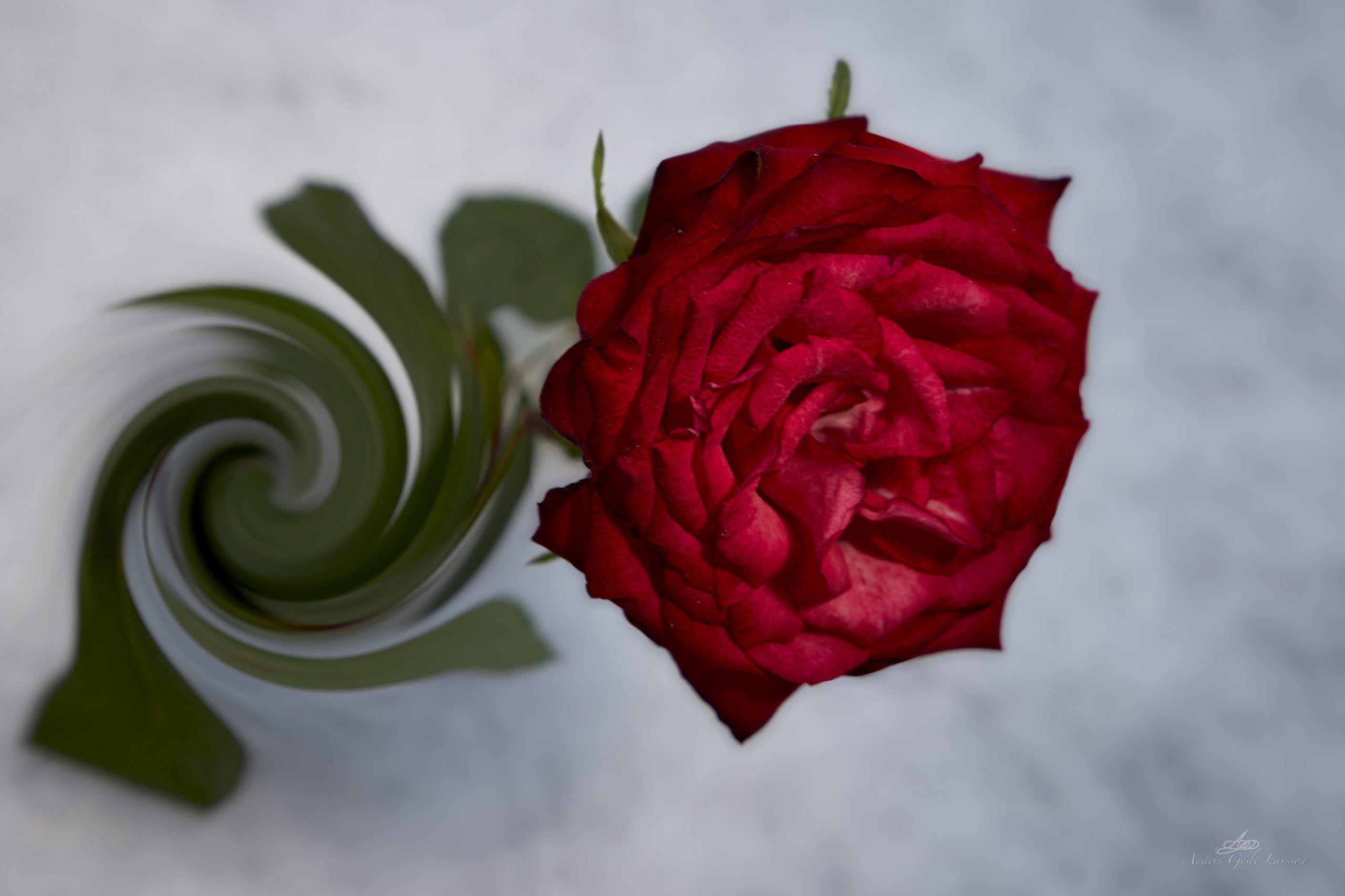 Rose, Manipulation, Uge 3, 19/365, Assentoft, Randers