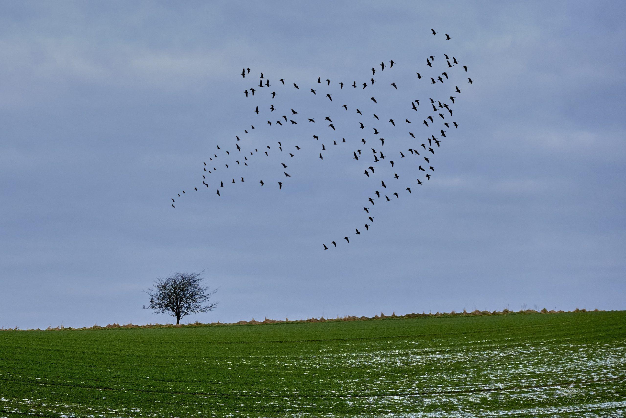 Fugletrækket som ikke var der, Manipulation, Uge 3, 21/365, Assentoft, Randers