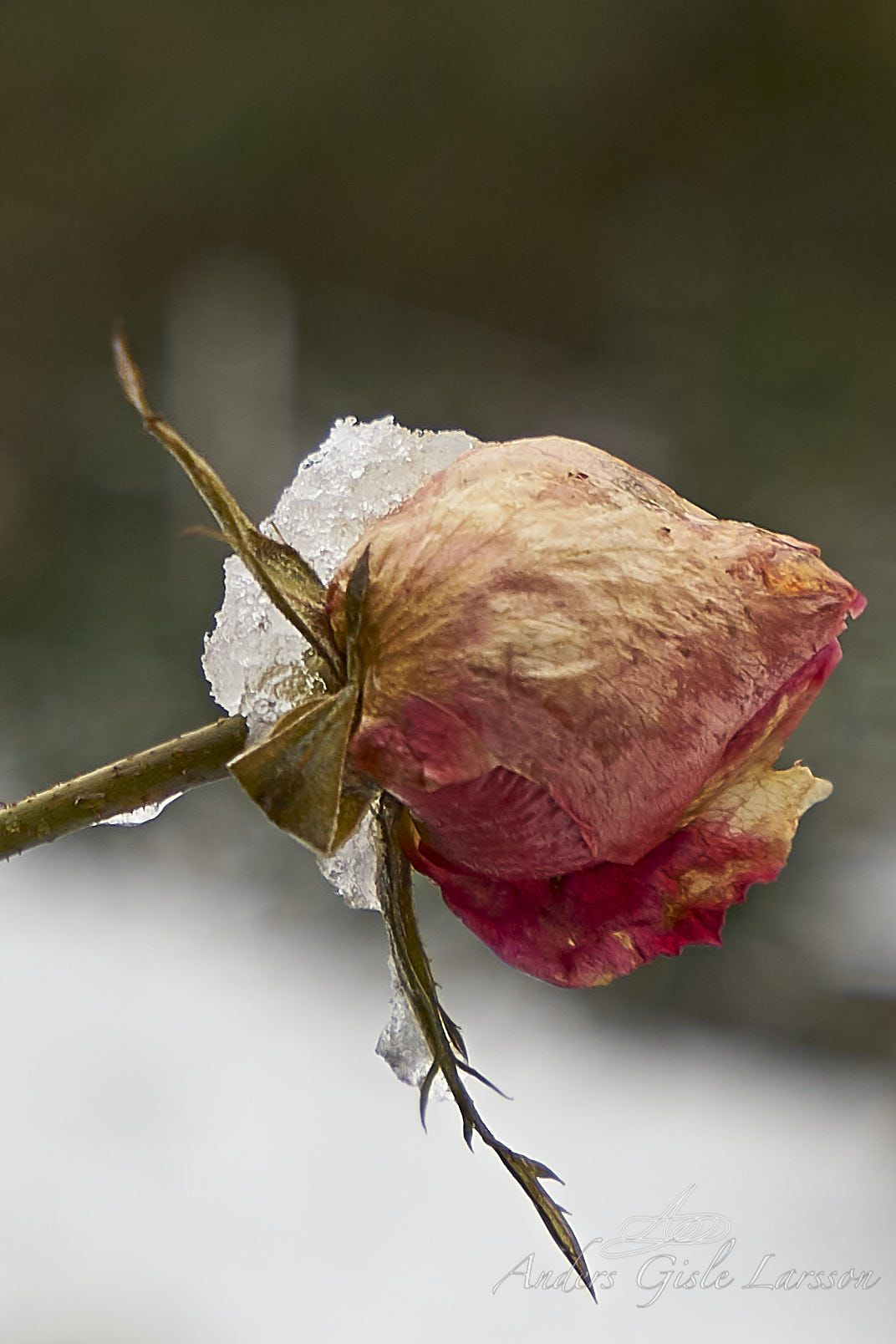Vinter Rose, Alt er tilladt, Uge 6, 42/365, Assentoft, Randers
