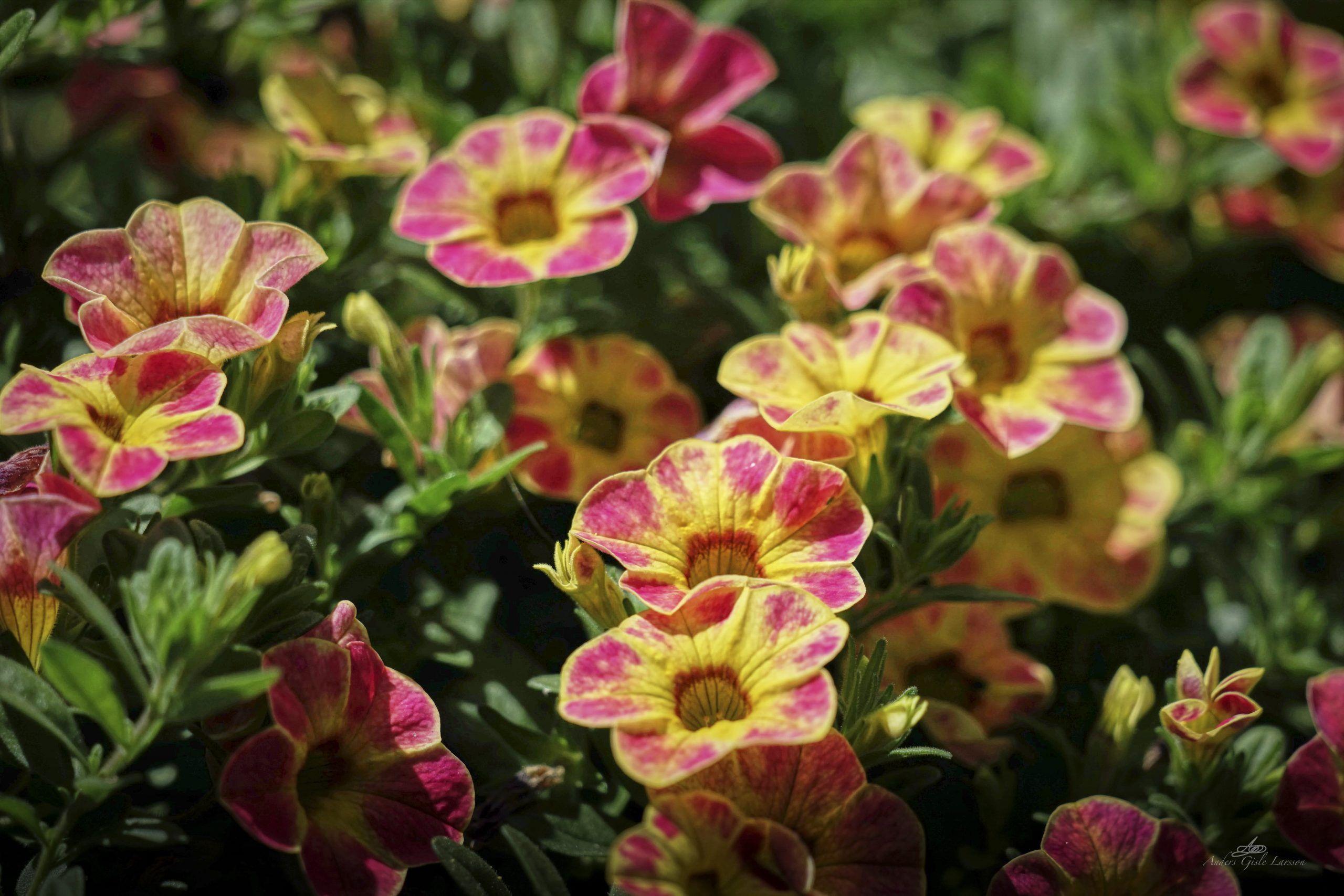 Flor, Uge 27, Assentoft, Randers