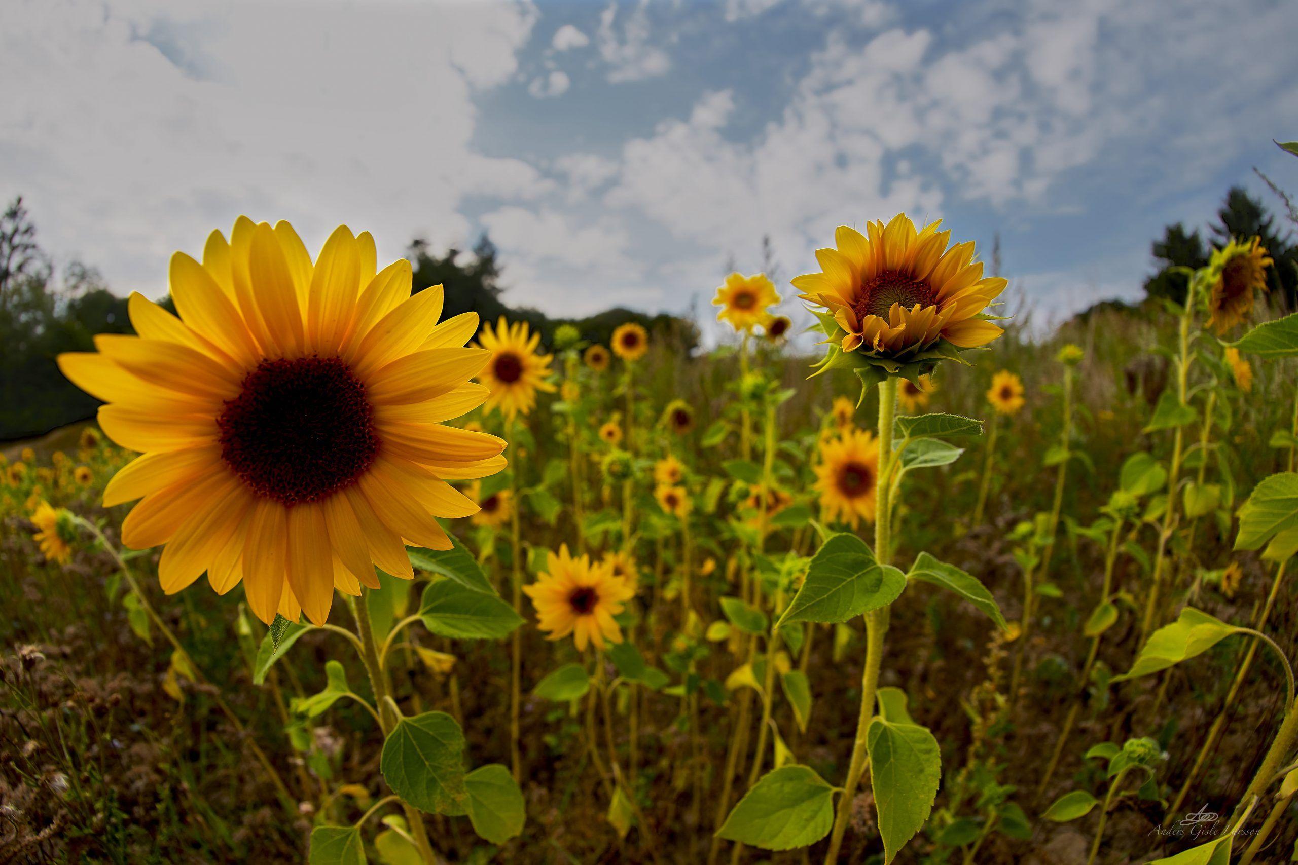 Eternal Sunshine, 211/365, Uge 31, Ammelhede, Assentoft, Randers