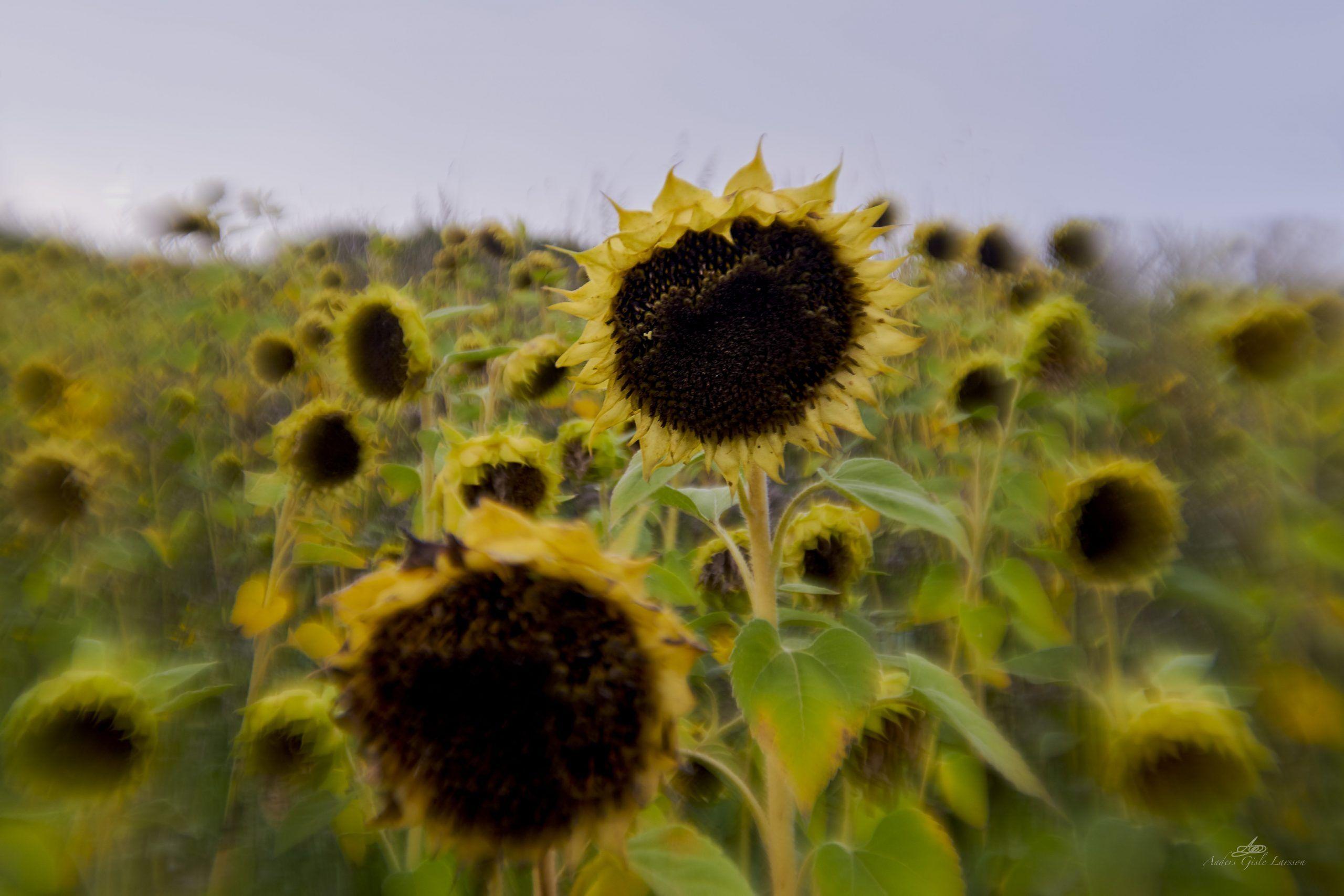 Summer was here, 234/365, Uge 34, Ammelhede, Assentoft, Randers