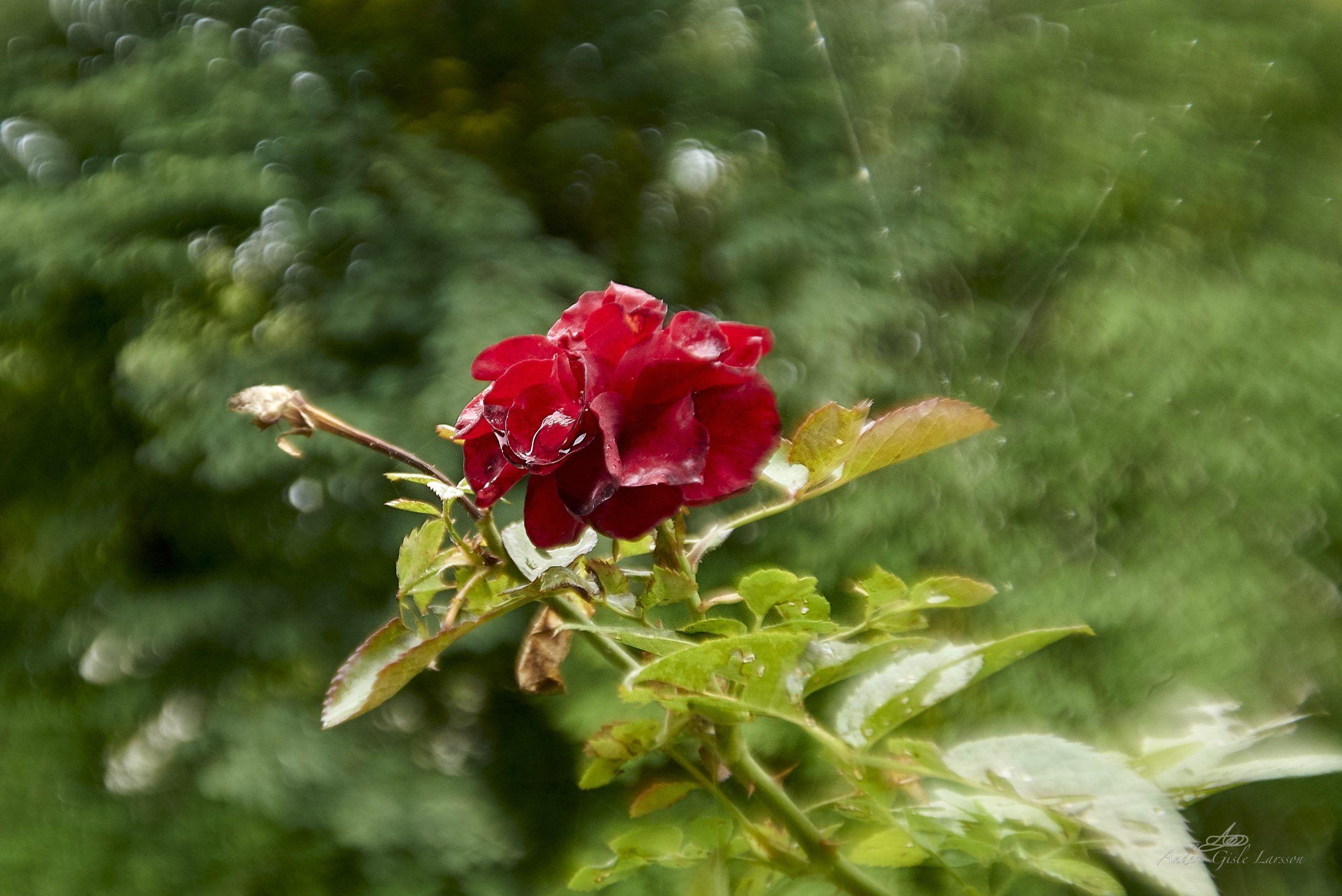 En døende rose, 243/365, Uge 35, Assentoft, Randers