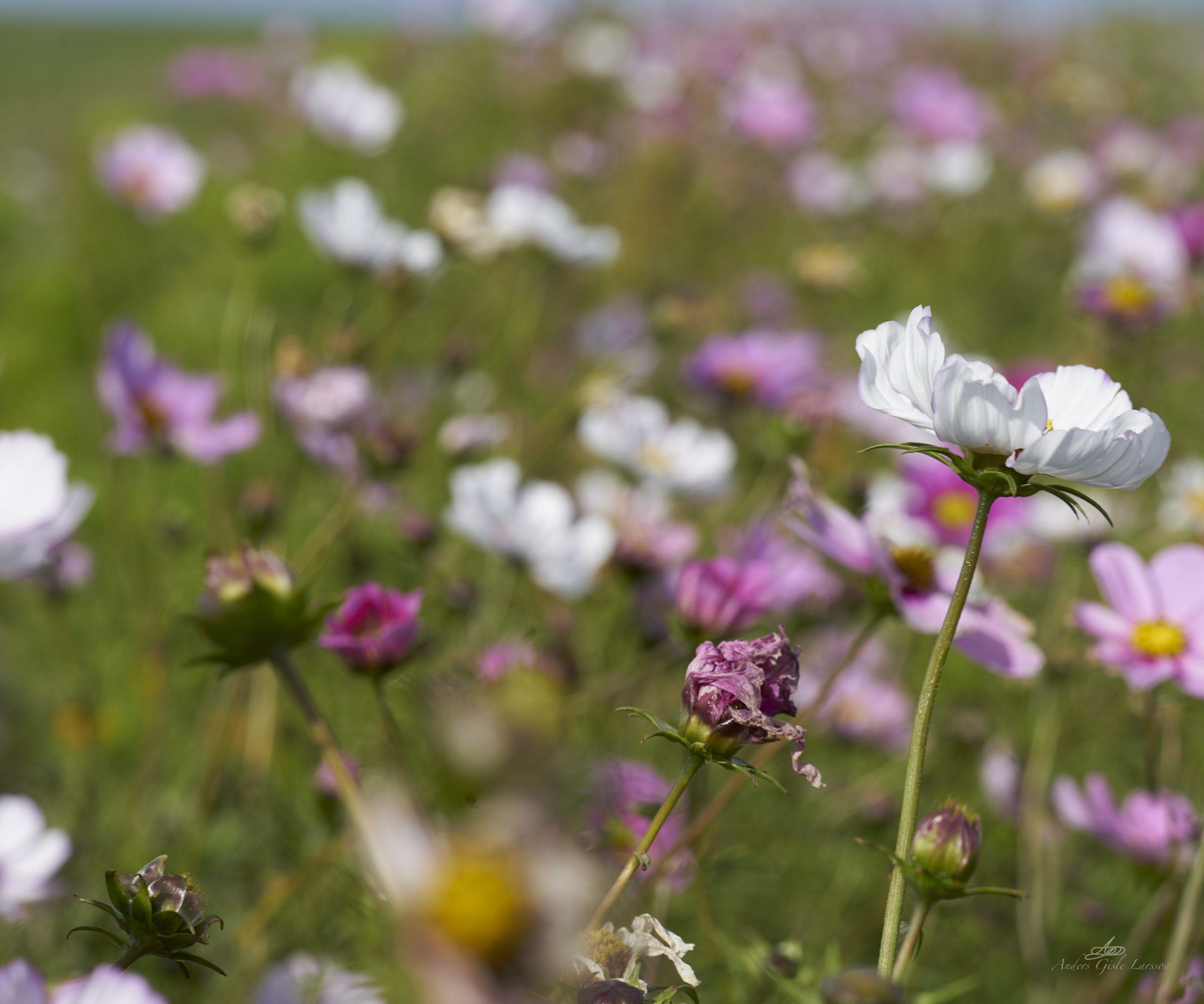 Field flowers in October, 274/365, Uge 40, Mejlby, Aarhus
