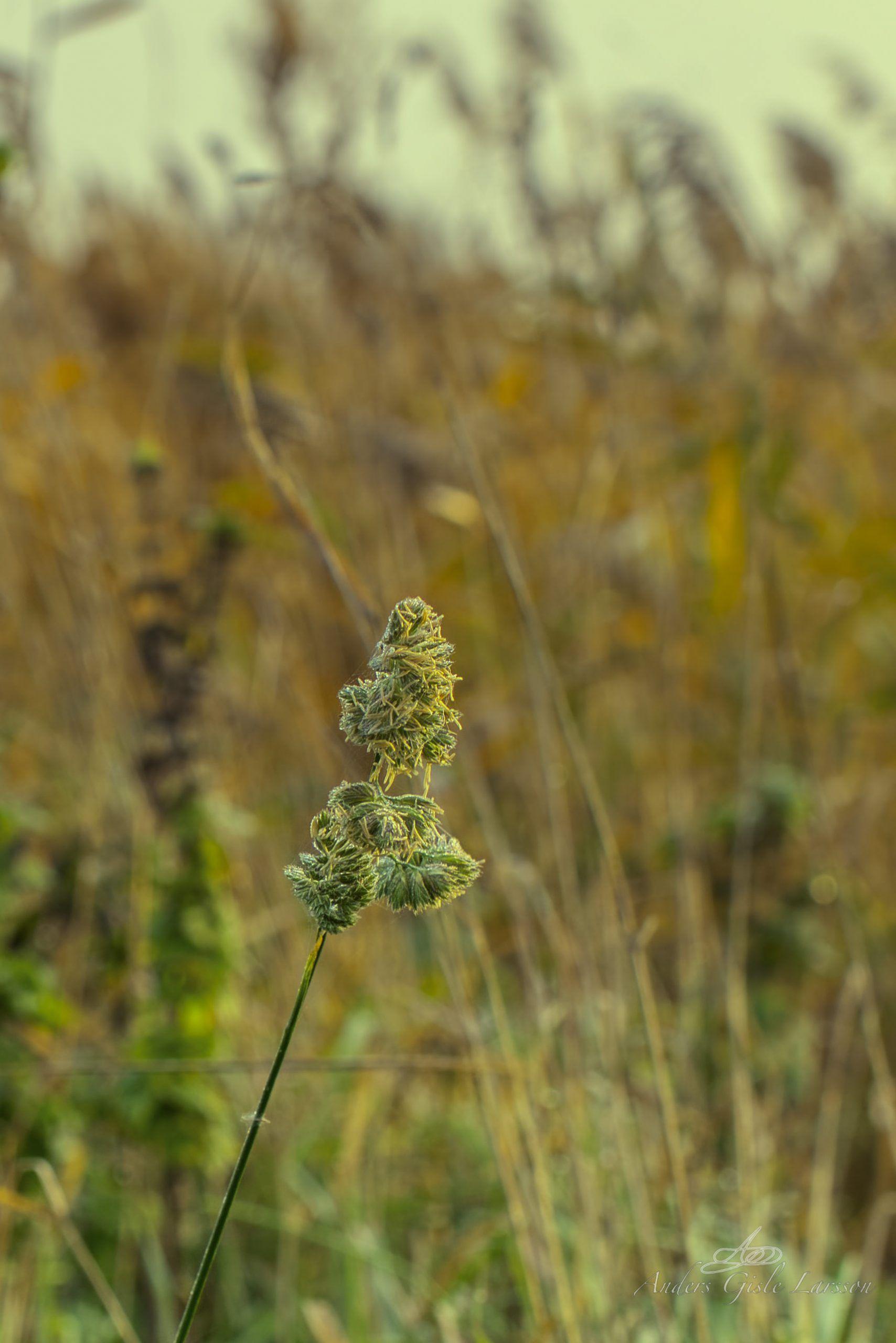 Morgendug i græsset, 290/365, Uge 42, Randers Fjord, Uggelhuse, Randers