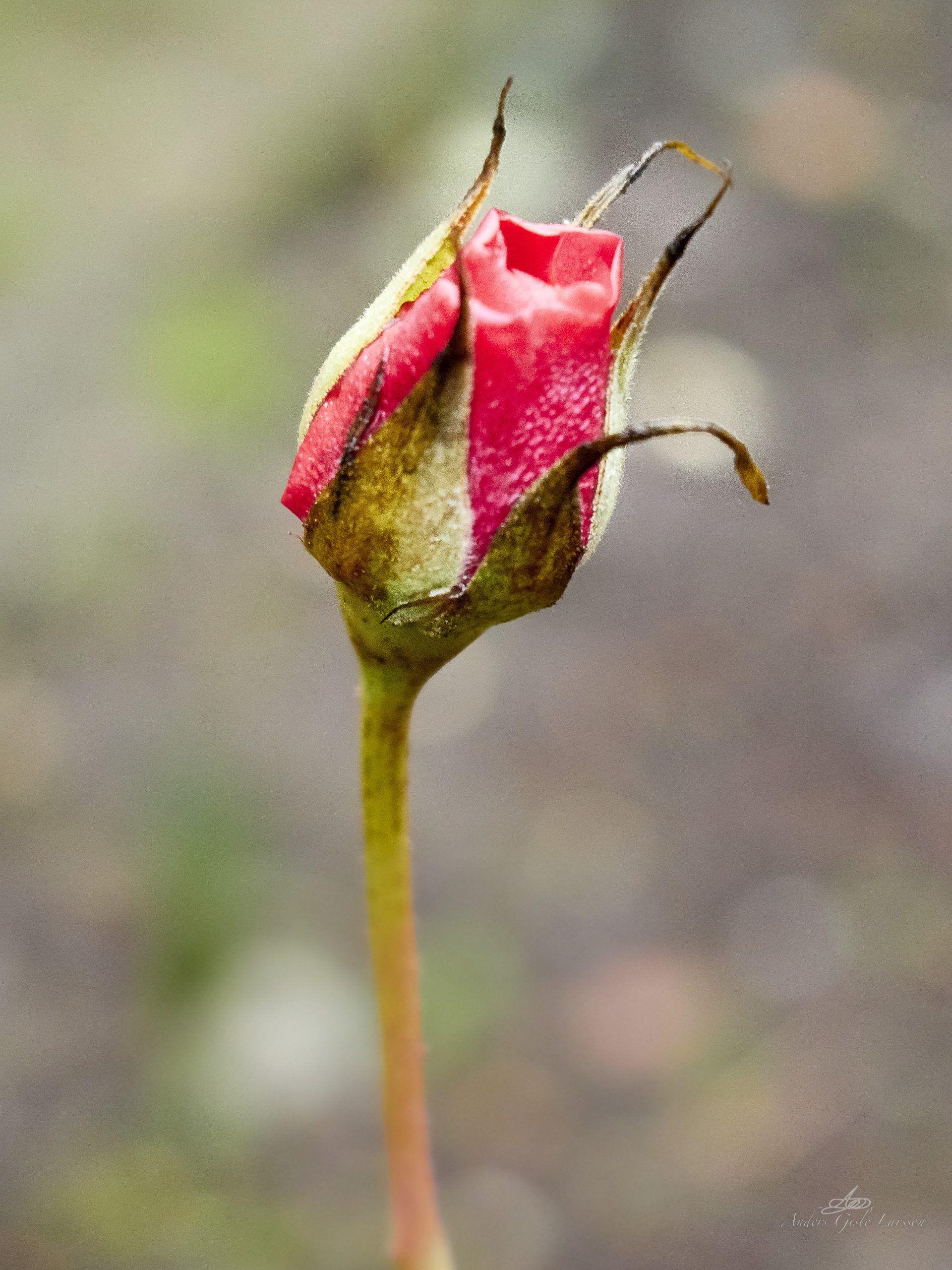 En rose så jeg skyde ..., 356/365, Uge 51, Assentoft, Randers