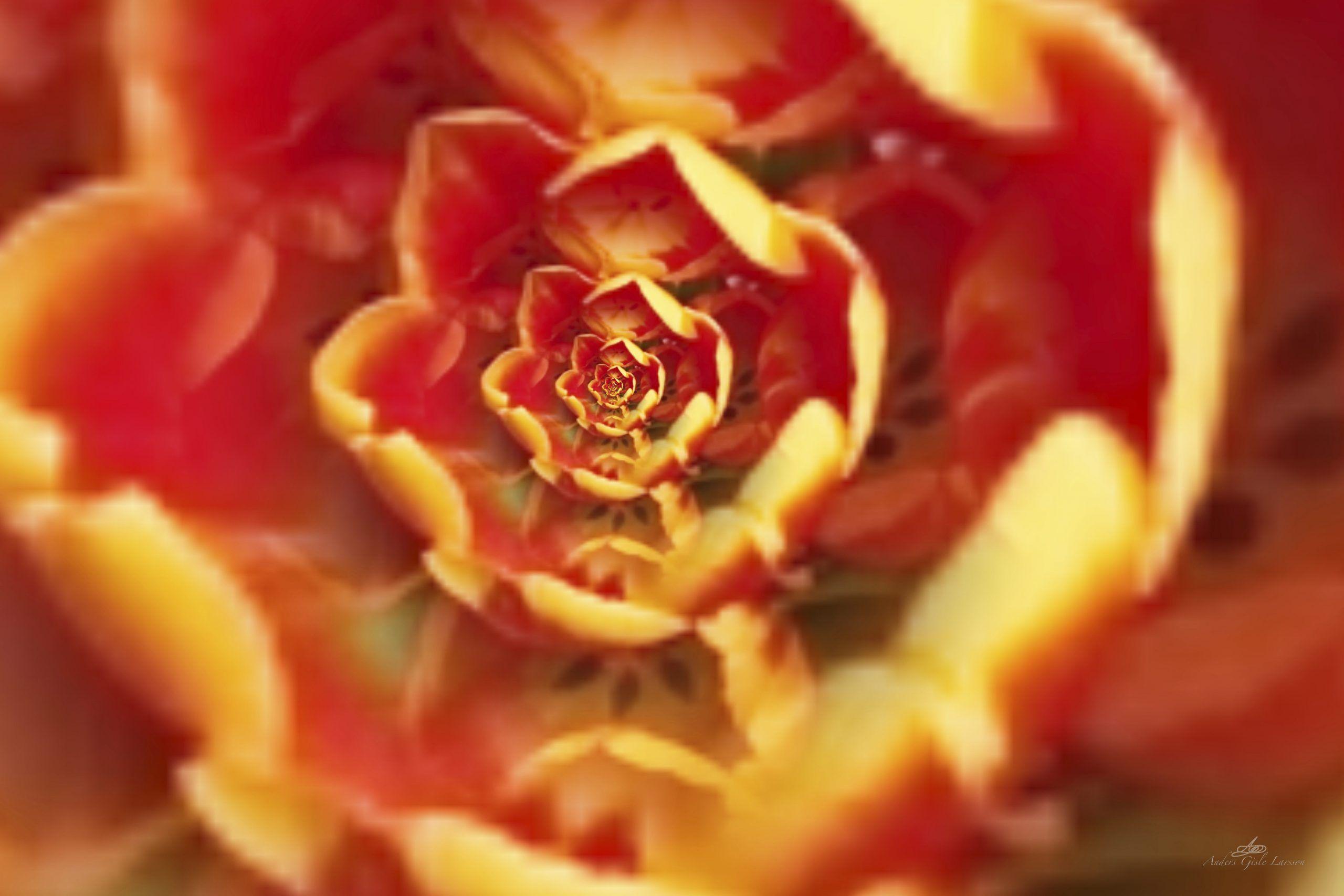 Tulipan i Tulipan, Uge 11, Assentoft, Randers