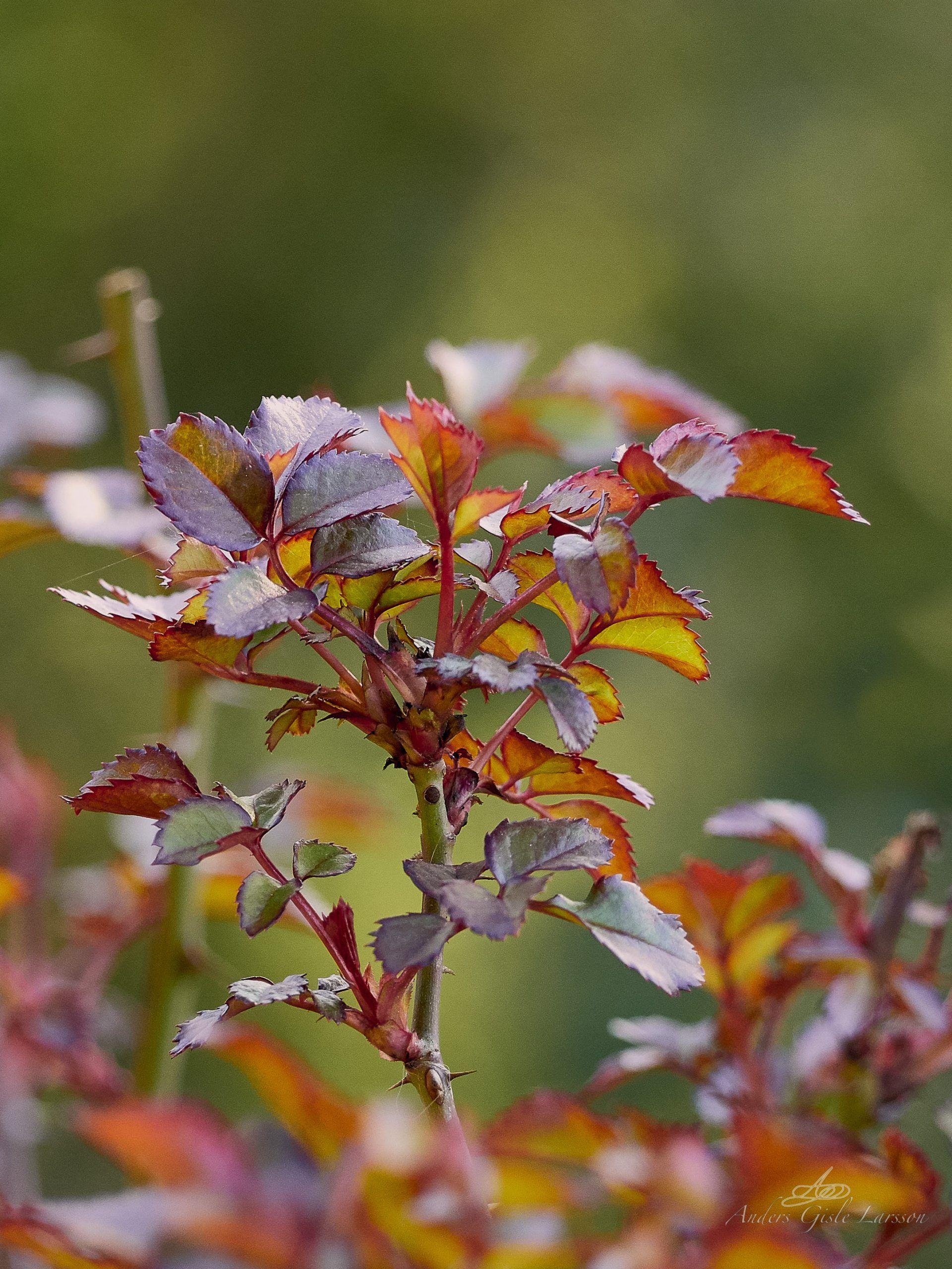 Roser er røde .., Uge 15, Assentoft, Randers