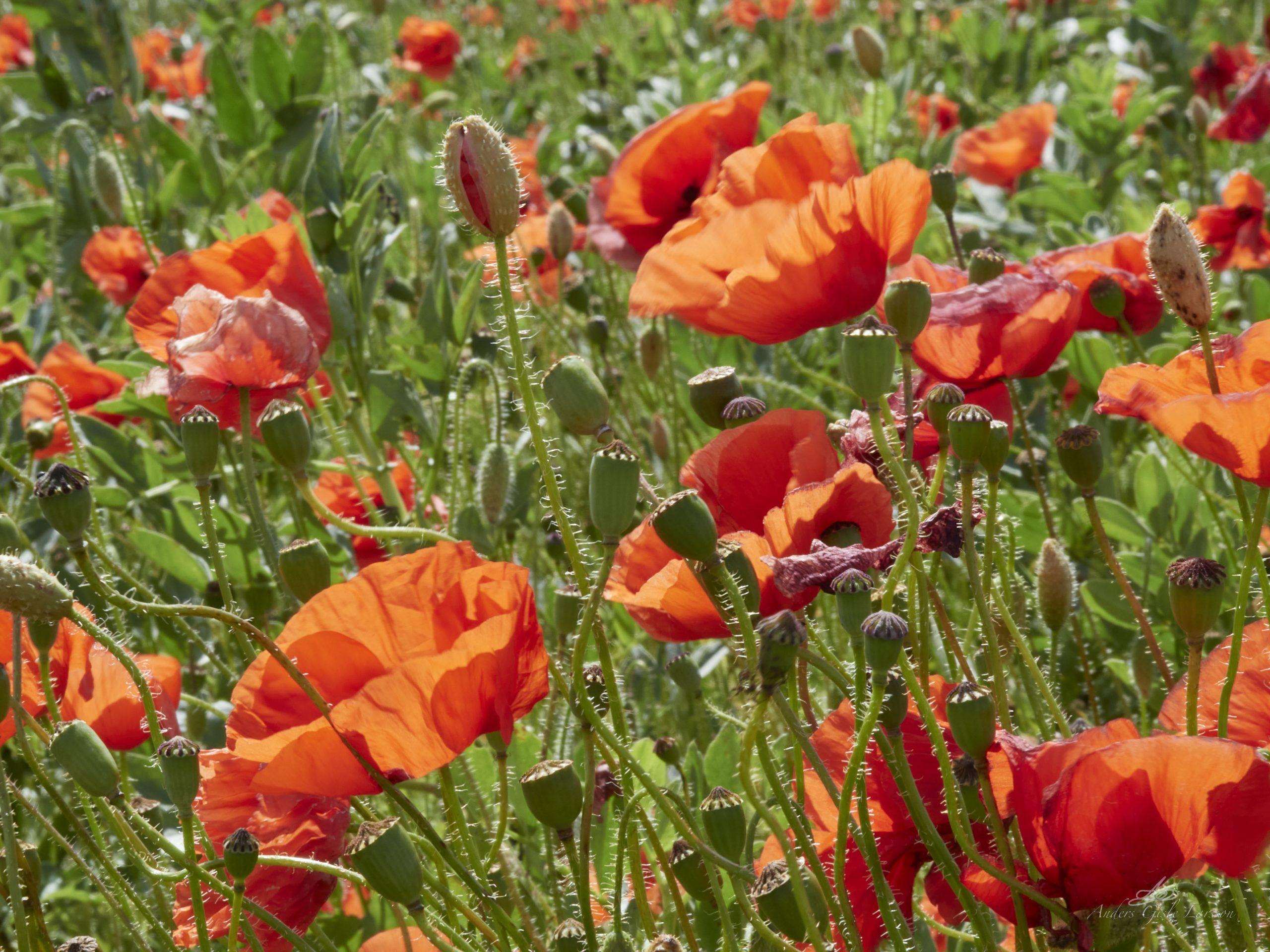 Rød som en blomstermark