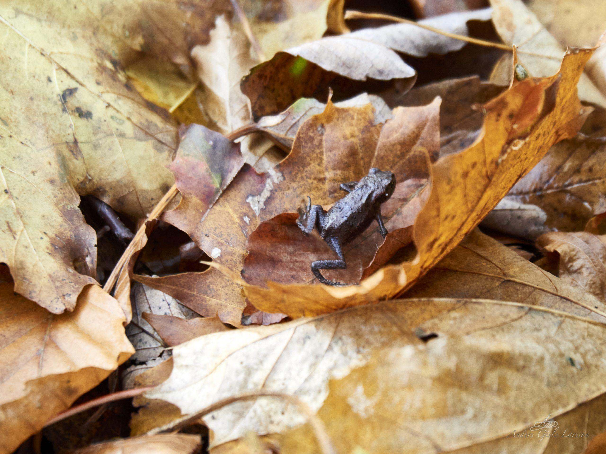 November frøen
